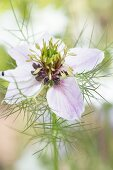 White-flowering love-in-a-mist (Nigella damascena)