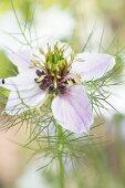 White-flowering love-in-a-mist (Nigella damascena)