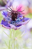 Purple-flowering love-in-a-mist (Nigella damascena)