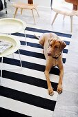 Dog and tray tables on black and white striped rug with replicas of classic chairs in background