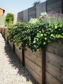 Flowering plants in raised bed made from wooden boards lining garden fence