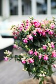 Flowering potted fuchsia