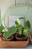 Cucumber seedlings in terracotta pots in front of vintage tray