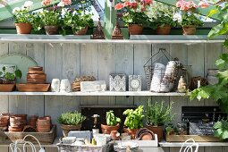 Shelves of gardening utensils, potted herbs and potted geraniums in greenhouse
