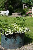 Rustic metal planter of petunias and potato plants in sunny garden