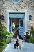 Dog on paved path leading to stone house with open blue front door