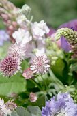 Astrantia and scabious in garden