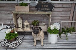 Pug between potted geraniums in front of decorative lanterns on weathered wooden bench