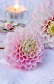 Pink dahlia flowers lying on lace tablecloth in front of candle and rosebud
