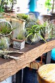 Air plants in various containers as balcony garden