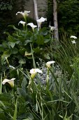 Garden planted with white calla lilies