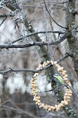 Blue tit on peanut wreath hanging from wintry tree