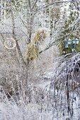 Bird food hung from tree in frosty, wintry garden