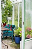 Potted hydrangeas next to blue-painted wicker chair in greenhouse