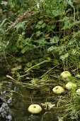 Apples floating in pond