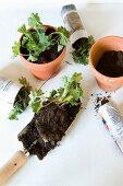 Planting seedlings in terracotta pot