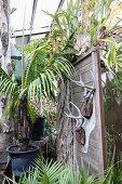 Geweihe an Holzpaneel zwischen Palmen in einem Gewächshaus