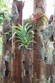 Tillandsia air plants hung on wooden board fence
