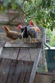 Hens sitting on wooden frame in cottage garden