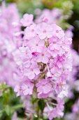 Pale purple phlox