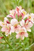 Water droplets on pink-flowering Peruvian lily (Alstroemeria)
