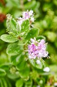 Delicate pale-lilac flowers and lush green leaves covered in water droplets