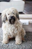 Kleiner, weisser Hund auf Teppich