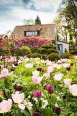 Tulips of various colours in spring garden with house in background