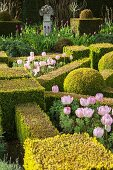 Pink tulips amongst clipped box hedges