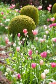 Spring bed of tulips, narcissus and clipped box bushes