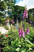 Foxglove and poppies in summery garden