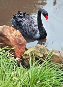 Black swan in pond