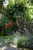 Idyllic, sunny garden with rustic, willow hurdle fence and flowering lavender