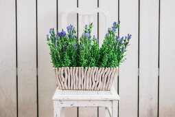 Purple flowering flowers in planter on vintage chair in front of white wooden fence