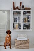 Dog sitting below collection of whiskies in wall-mounted cabinet