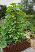 Pumpkin plant growing in raised bed edged by woven iron rods