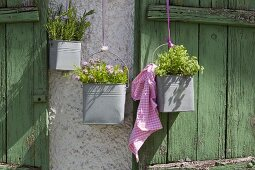 Various herbs planted in metal buckets hung on rustic wooden wall