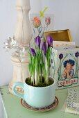 Lila Krokusse in alter Tasse gepflanzt, im Hintergrund nostalgische Blechdose