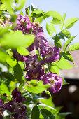 Purple roses in sunlight