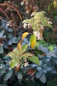 Autumnal hydrangea next to garden fence
