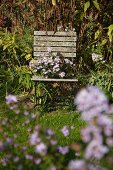 Asters on weathered chair in autumnal garden