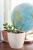 Jade tree in white pot in front of globe