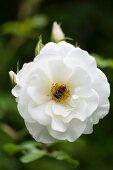 Weiss blühende Rose im Garten