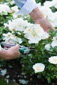 Frau schneidet weisse Rosen im Garten