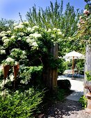 Flowering hydrangea climbing over garden fence with view of seating area under parasol in background
