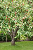 Red apples on tree in garden