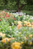 Bed of flowering dahlias in garden with white tree seat in background