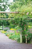 Rose climbing over pergola made from round timbers and flowering beds lining gravel path in gardens