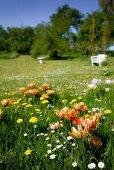 Orange tulips, dandelions and daisies growing in flowering spring meadow