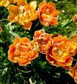 Bright orange tulips